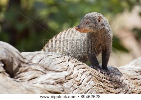 Banded Mongoose Is A Lookout On Tree Stump