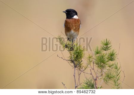 Common Stone Chat Sit On A Twig On Lovely Soft Brow Background