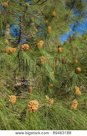 Pinus Canariensis, Canarian Pine