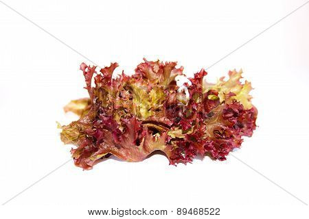 Lolo Rosso Or Coral Lettuce Isolated On The White Background.