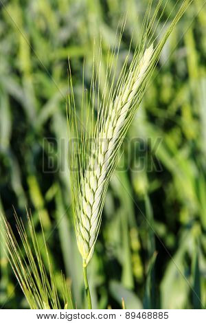 Wheat Grain.
