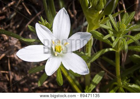 Star-of-bethlehem Flower