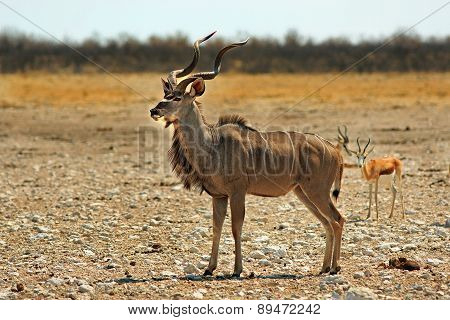 A lone Male Kudu on the plains in Etosha