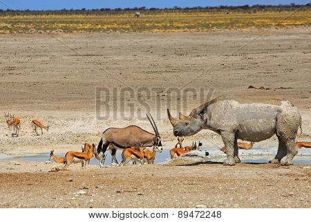 Black Rhino & Gemsbok Oryx next to a waterhole