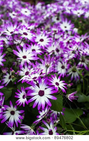 purple and white Flowers background