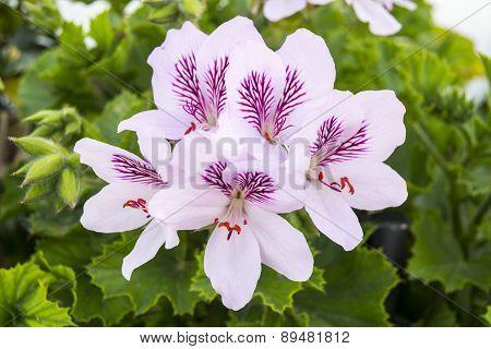 Geranium Flowers, Pelargonium, Spring Time