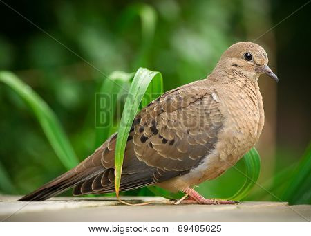Closeup Of Young Mourning Dove In Profile