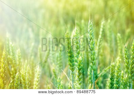 Unripe wheat field