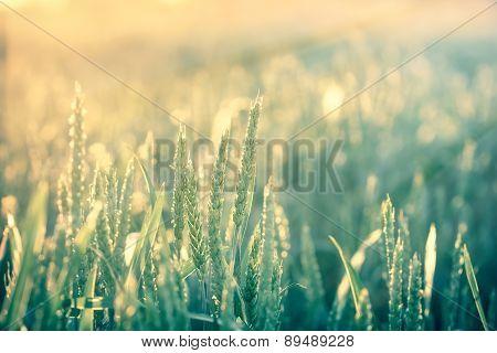 Unripe wheat early in morning