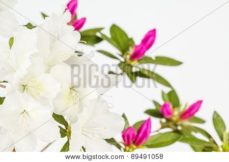 White And Magenta Azalea