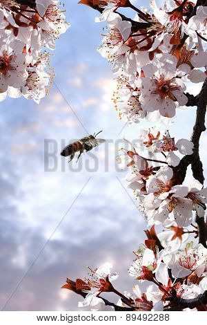Bee pollinating Plum Tree