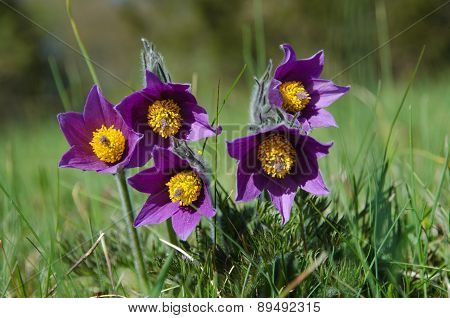 Pasque Flowers Group