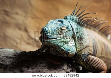 Blue Brown Iguana