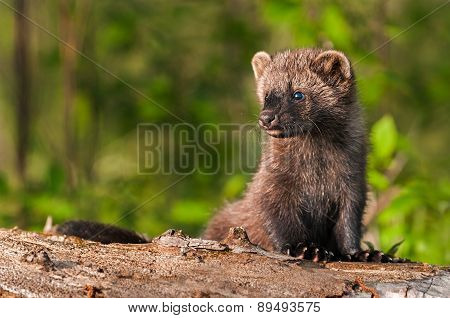 Young Fisher (martes Pennanti) Sits On Log Looking Left