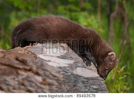 Young Fisher (martes Pennanti) Looks Off Edge Of Log