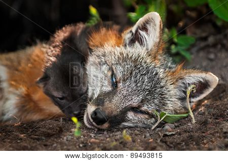 Grey Fox Vixen (urocyon Cinereoargenteus) And Kit Closeup