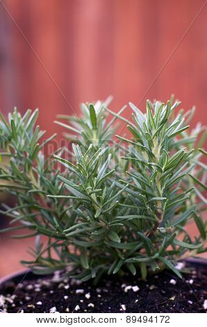 Young Rosemary Plant In Pot