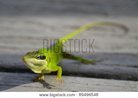 Florida Green Anole Lizard