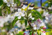 picture of apple blossom  - A blooming branch of apple tree - JPG