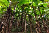 stock photo of banana tree  - Banana tree plantation in Thailand - JPG