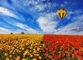 picture of buttercup  -  Big balloon flies over field of flowering - JPG