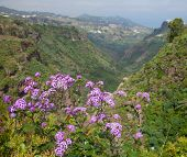 pic of may-flower  - Pericallis webbii commonly known as May flower flowering plant native to Gran Canaria flowers in Barranco de Moya - JPG