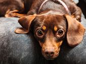 picture of dachshund dog  - Animals at home - JPG