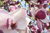 image of magnolia  - close up of white and purple magnolia flowers against blue sky - JPG