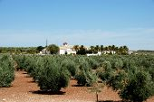 pic of farmhouse  - Olive grove with a farmhouse surrounded by palm trees to the rear Montilla Cordoba Province Andalusia Spain Western Europe - JPG