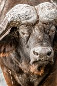 picture of cape buffalo  - An up close view of the face of an African buffalo - JPG