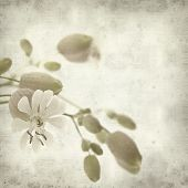 image of bladder  - textured old paper background with Silene vulgaris or bladder campion - JPG