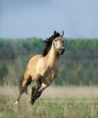 picture of stallion  - The free running lusitano stallion in the summer - JPG