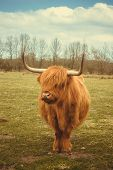 pic of highland-cattle  - A highland cow in the fields on a sunny day - JPG