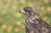 stock photo of buzzard  - Portrait of an buzzard with blurred green background - JPG