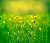 pic of yellow buds  - Meadow is full with little yellow flowers in spring - JPG