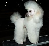 stock photo of poodle  - The Miniature Poodle looks back on the show - JPG
