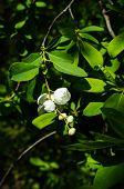 pic of jasmine  - Jasmine bush blooming in the sprig time garden - JPG