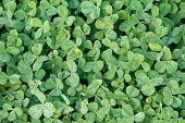 stock photo of clover  - Green grass clover seamless texture - JPG