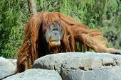 stock photo of orange  - The orangutans - JPG