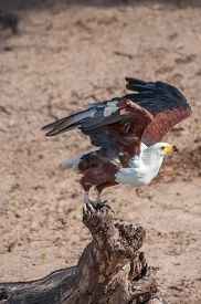 picture of fish-eagle  - An African Fish Eagle taking flight from a wooden log on the banks of the Chobe river in Botswana - JPG