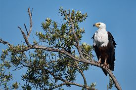 stock photo of fish-eagle  - A large African Fish Eagle perched on a branch - JPG
