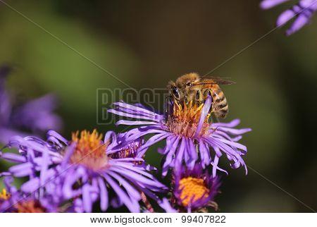 Honeybee And Coneflower