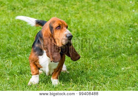 Basset Hound walks.