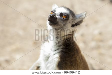 One Ring-tailed Lemur Singing Vocalizations