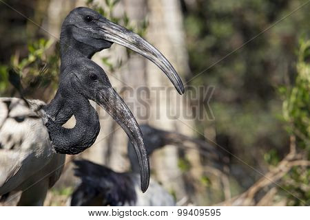 Couple Of Sacred Ibis