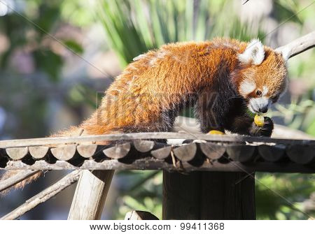 Portrait Of A Red Panda Eating Fruits