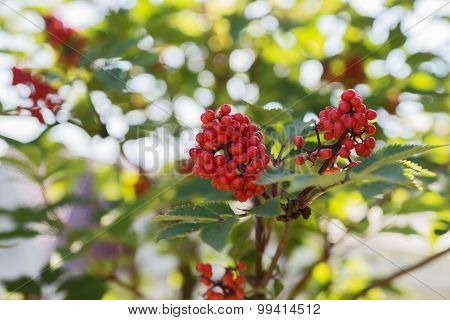 Close up bright rowan berries on a tree