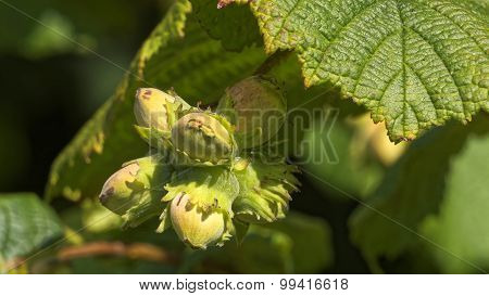 Hazelnuts On A Hazel Tree (corylus)
