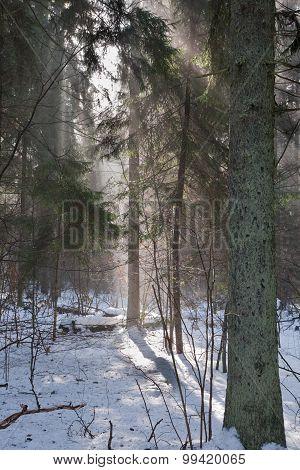 Winter Landscape Of Coniferous Stand