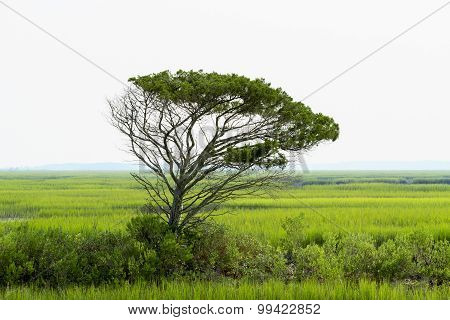 Lone Live Oak Tree Towers Over The Saltwater Marsh